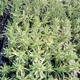 sadnice lavande budrovke