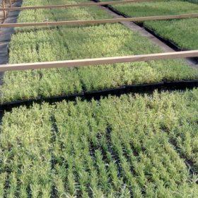 Lavender seedlings Grosso