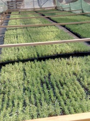 Lavender seedlings Grosso