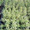 sadnice lavande