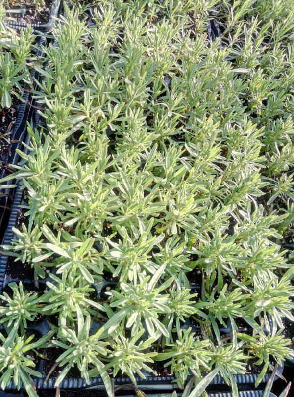 Lavender seedlings Budrovka
